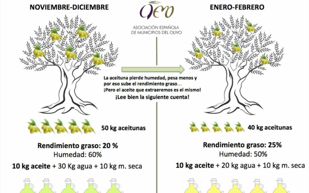 Què passa amb la mateixa olivera si recollim l'oliva abans o després?