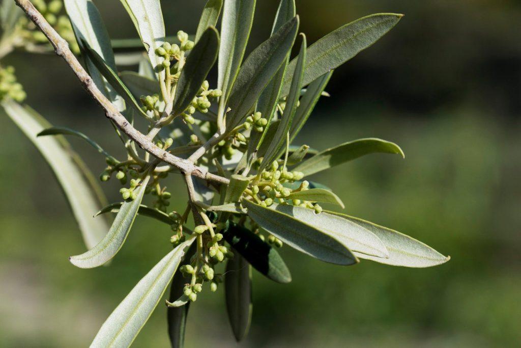 L'olivera floreix i escombra